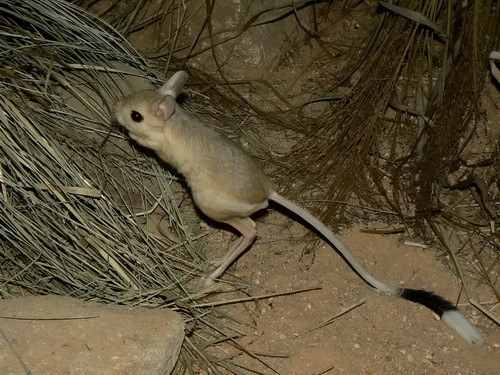 Pet Jerboa